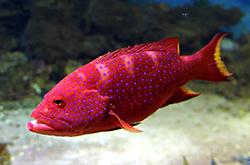 Variola_Louti_importfish