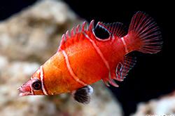 Wetmorella_Albovittatus_importfish