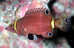Wetmorella_Nigropinnata_importfish