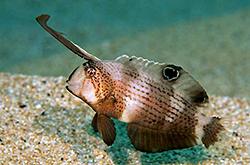 Xyrichtys_Pavo_importfish