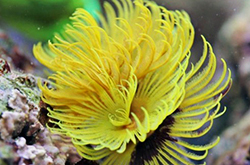 Yellow-Green-Sabellastarte_importfish