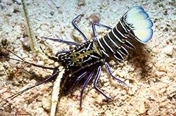 leopard_lobster_importfish