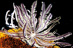 white_Feather_Starfish_importfish