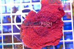 importfish_corals_aussie43