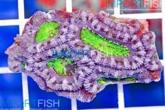 importfish_corals_aussie03