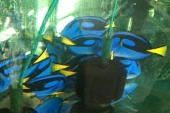 blue-tang1